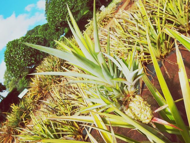 Hawaii Doleplantation Pineapple