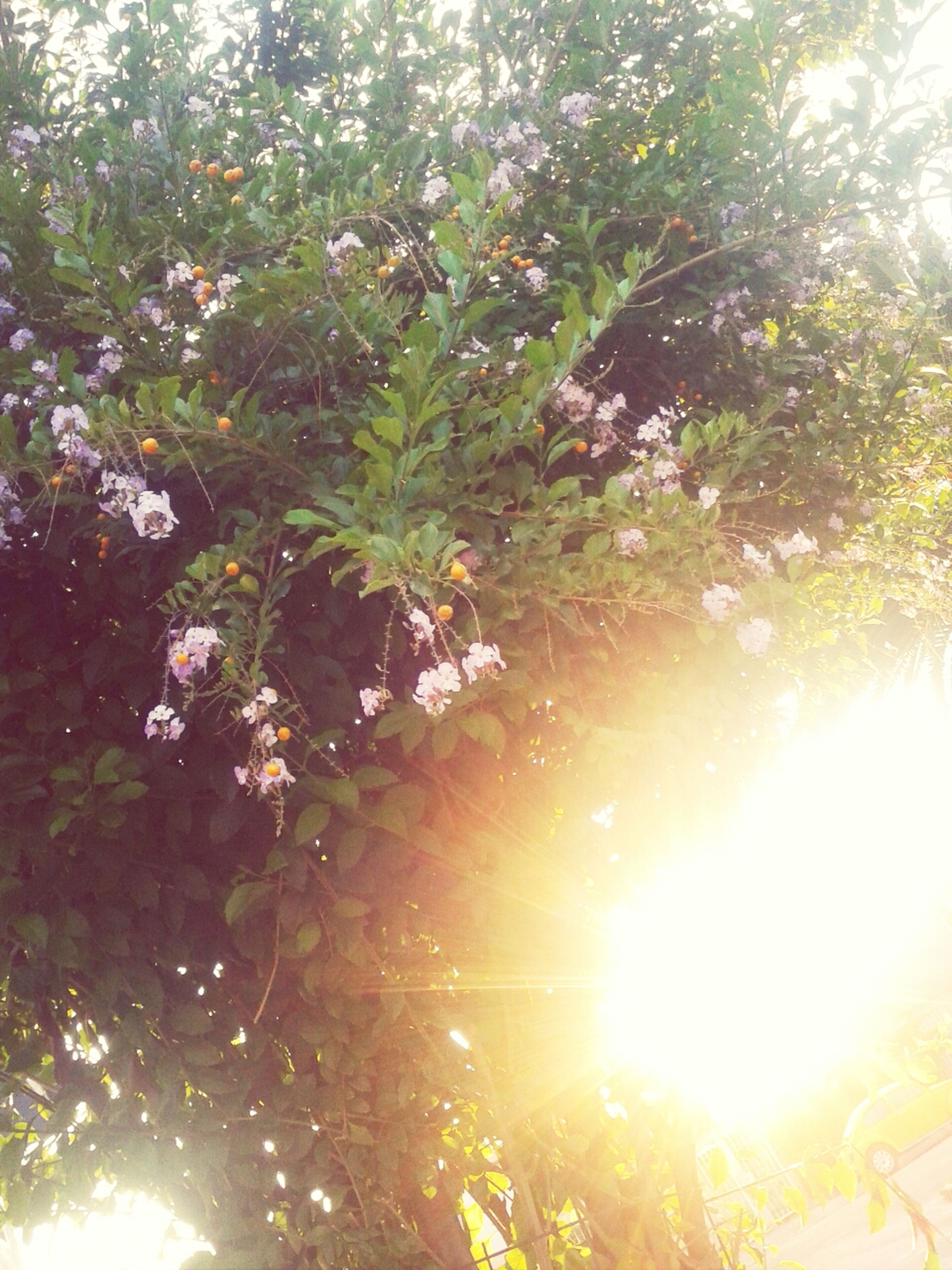 sun, sunbeam, tree, sunlight, lens flare, growth, low angle view, bright, beauty in nature, nature, branch, tranquility, sunny, back lit, leaf, scenics, tranquil scene, shiny, clear sky, outdoors
