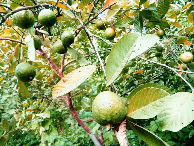 Taking Photos Fruits ♡ Guava Tree Guavas Fresh Fruits Nature_collection Check This Out