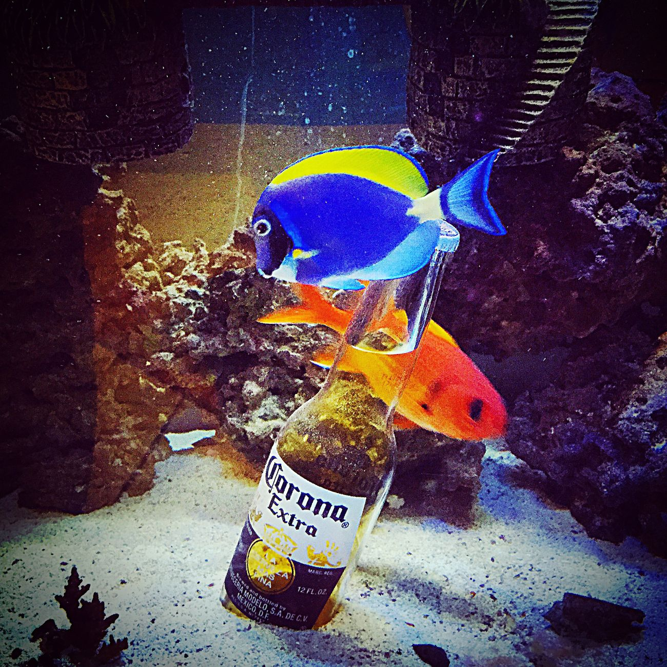 Fish Little Blue Fishes Swimming Cerveza Beer Corona Blue Fish Onefishtwofishredfishbluefish Aquarium Fishes Fishes !!