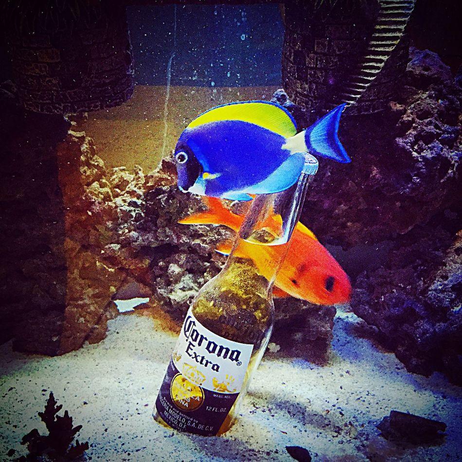 Fish Little Blue Fishes Swimming Cerveza Beer Corona Blue Fish Onefishtwofishredfishbluefish Aquarium Fishes Fishes !!