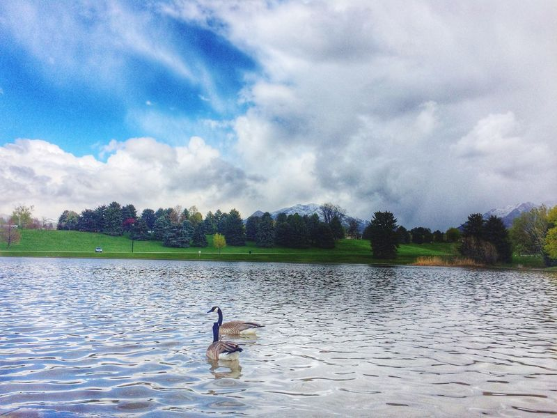 Geese on the lake Geese Lake Mountains Park Showcase April Water Surface Swiming Clouds And Sky Cloud No People Landscape IPhoneography Blue Wave