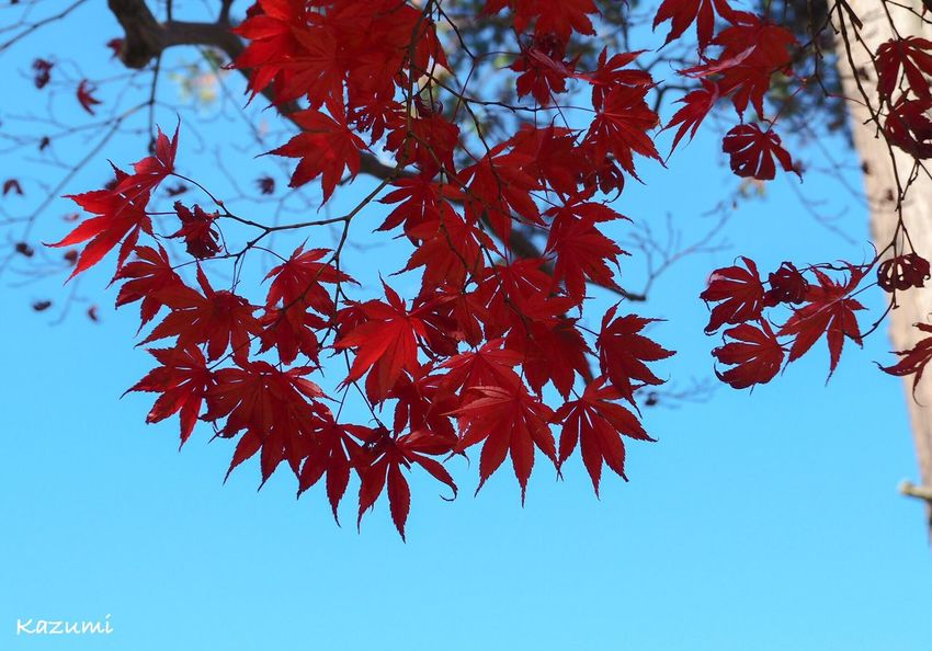 秋空にもみじ🍁この日は寒かった~❄ Close-up Clear Sky No People Outdoors Beauty In Nature Nature Day Low Angle View Red Maple Leaves Maple Tree Maple Leaf Change Leaf Autumn 生田緑地 Kanagawa Japan