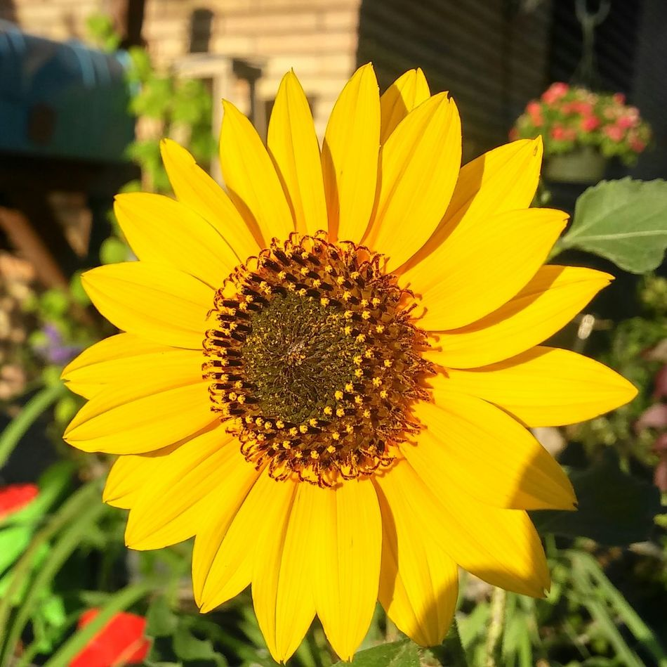Sunflower Flower Yellow Petal Freshness Flower Head Nature Outdoors Beauty In Nature Fragility Growth Day Plant No People Close-up Hanging Out Taking Photos Talking Pictures Corpus Christi Check This Out