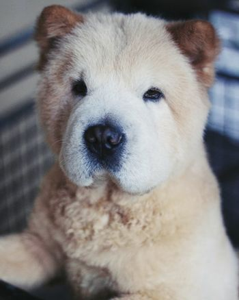 ChowChow Dog Pets Domestic Animals Looking At Camera One Animal Portrait Animal Themes Mammal Close-up No People Day Outdoors