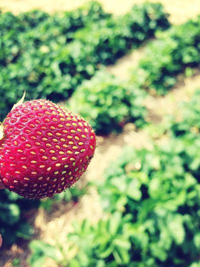 Spring Strawberry