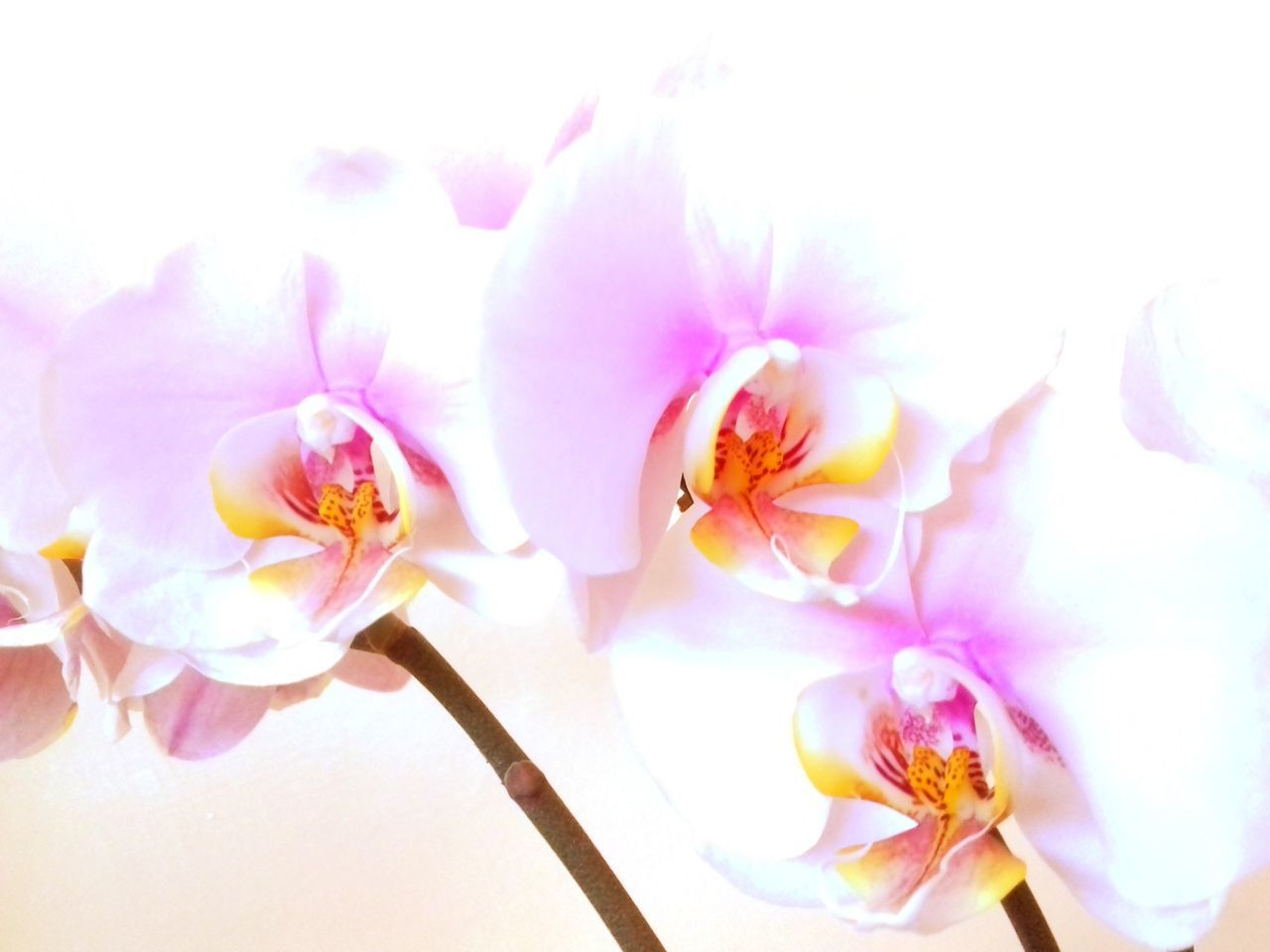 Freshness Petal Flower Fragility Beauty In Nature Close-up In Bloom Botany Nature Blossom White Color Pink Color Kwiat Orchids Orchidea Orchid Blossoms Orchidslover Millennial Pink Neon Life