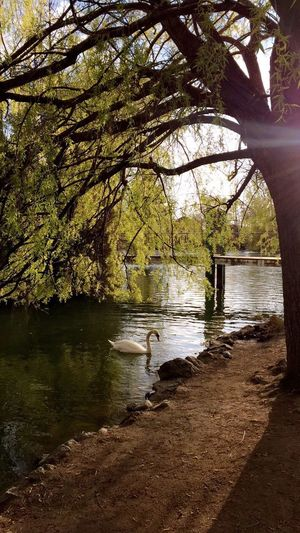 Tree Water Lake Swan Light And Shadow Green Color Spring Nature Beauty In Nature Tranquility Day Outdoors No People Riverbank Branch Travel Destinations Landscape Scenics Sky