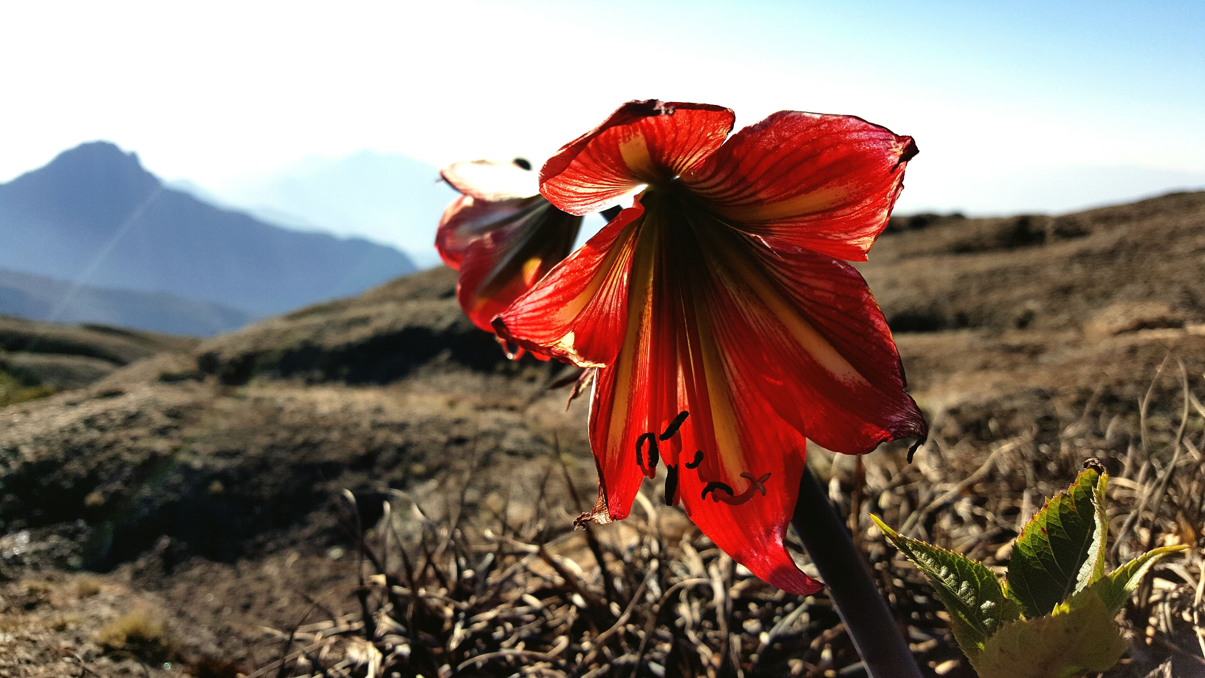 mountain, red, landscape, non-urban scene, mountain range, beauty in nature, flower, focus on foreground, selective focus, scenics, tranquil scene, tranquility, nature, fragility, growth, vibrant color, remote, valley, flower head, day, sky, mountain peak, majestic, freshness, physical geography, red color, petal, in bloom, wildflower, rural scene