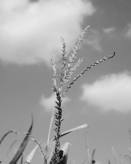Nature Outdoors No People Plant Beauty In Nature Close-up Sky Nature Field Cloud - Sky EyeEm Ready   EyeEmReady EyeEmNewHere Schwarzweiß Plant Growth Focus On Foreground Blackandwhite Photography Maisfeld EyeEm Ready   EyeEm Ready   AI Now