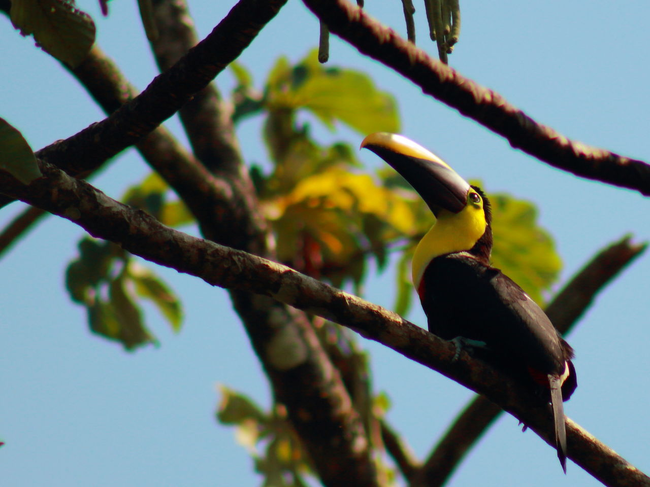 Tucan. Animal Themes Animals In The Wild Beauty In Nature Bird Branch Close-up Costa Rica Day EyeEm Animal Lover EyeEm Best Shots EyeEm Best Shots - Nature EyeEm Gallery EyeEm Nature Lover Focus On Foreground Low Angle View Nature No People One Animal Outdoors Perching Tourism Travel Travel Destinations Tree Tucan