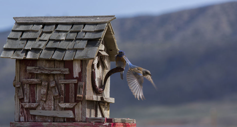 Bird House Blue Close-up Cloud Cloud - Sky Day Focus On Foreground High Section Low Angle View Mountains And Sky Nature No People Outdoors Sky Spread Wings Take Off Two Birds Two Birds In Frame Western Scrub Jay