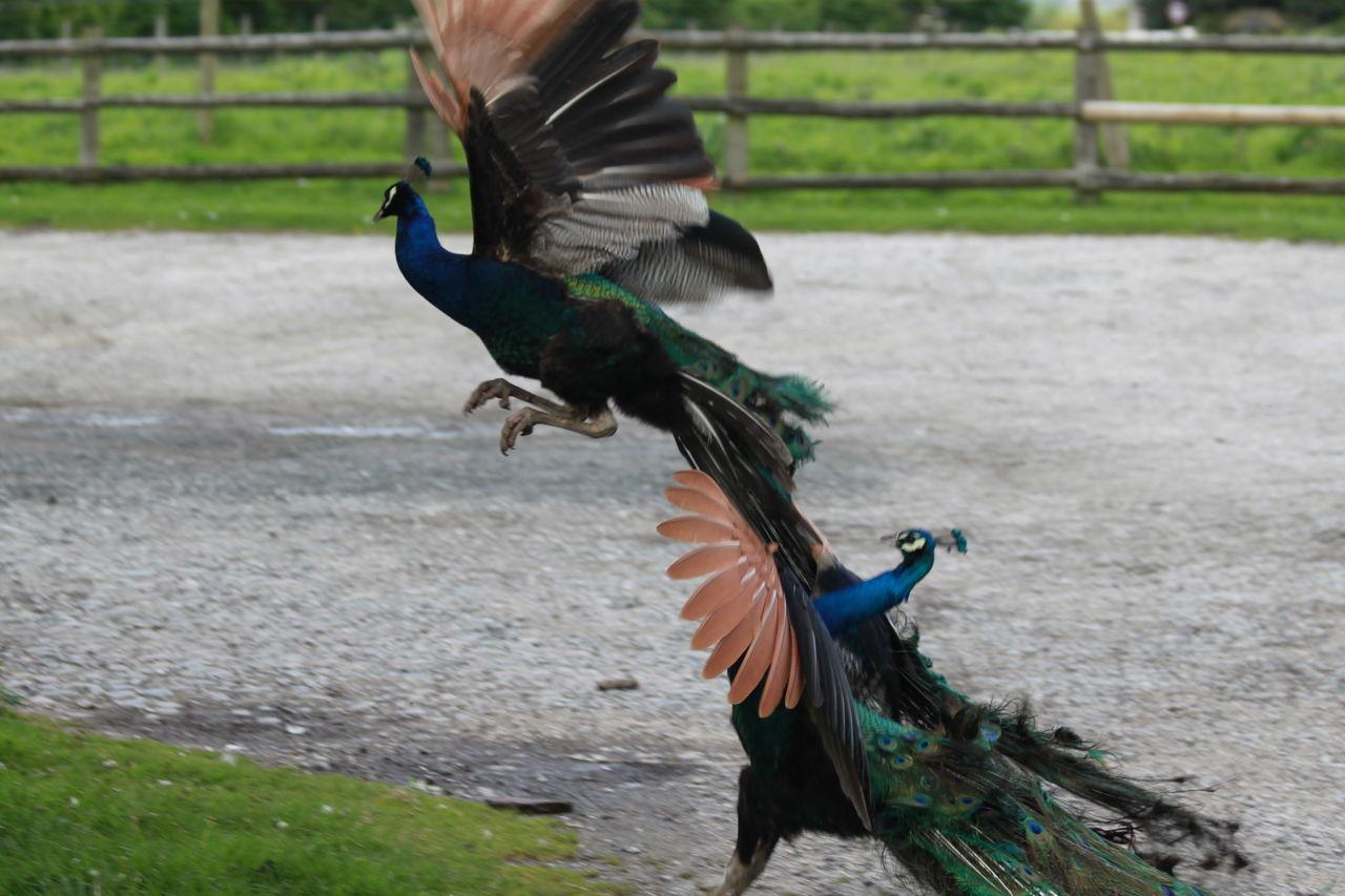 Beautiful stock photos of peacock, Animal Themes, Animal Wildlife, Animals In The Wild, Bird