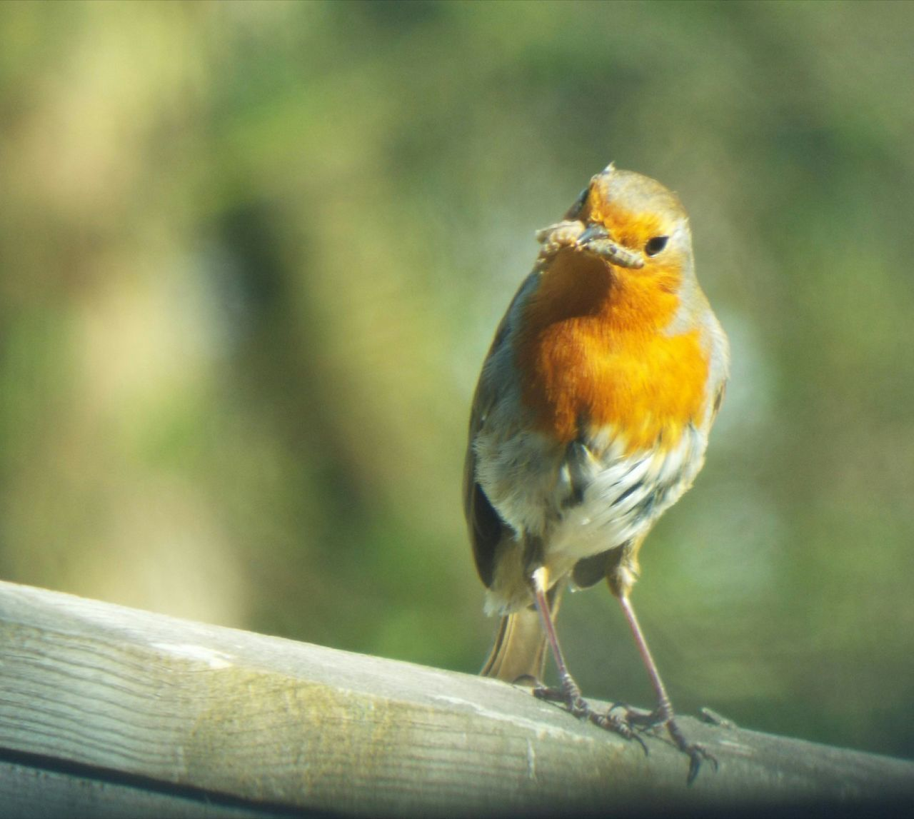 Feeding  Perching One Animal Bird Robin Animals In The Wild Animal Themes Songbird  Nature Close-up Day No People Robin Redbreast
