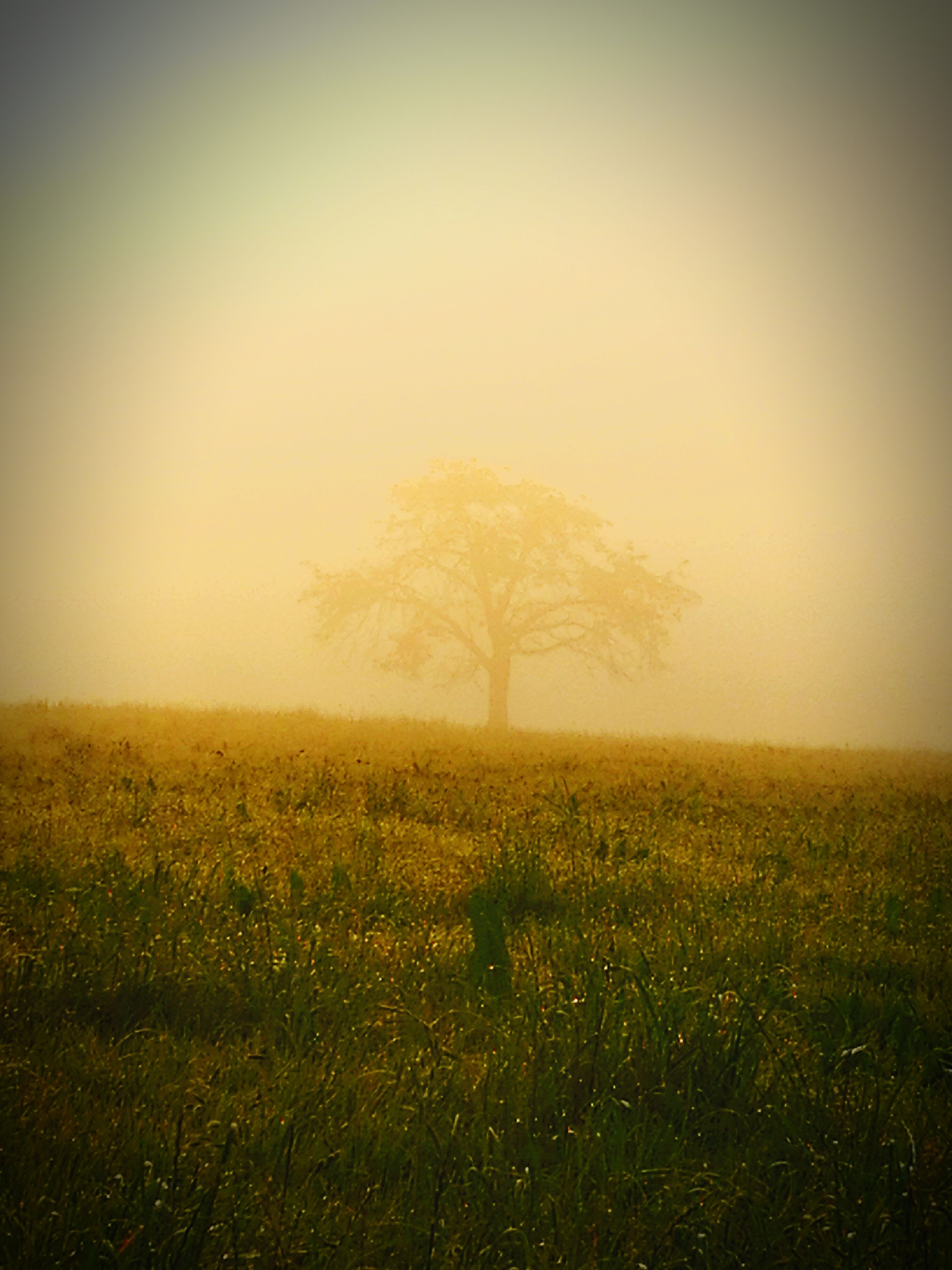 nature, landscape, beauty in nature, tranquil scene, field, tranquility, fog, tree, scenics, mist, grass, outdoors, hazy, no people, yellow, lone, day, sky