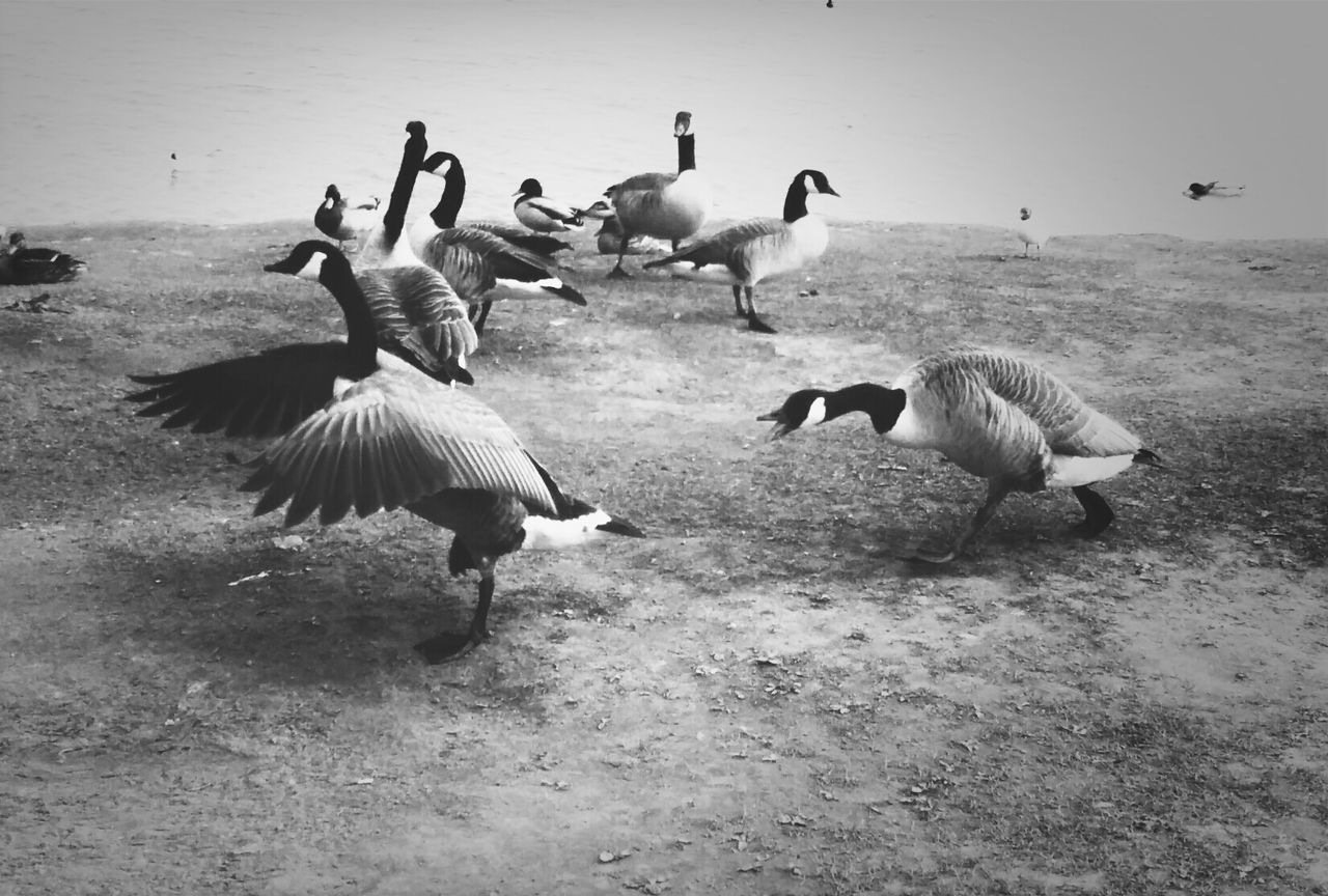 Canada Geese On Riverbank