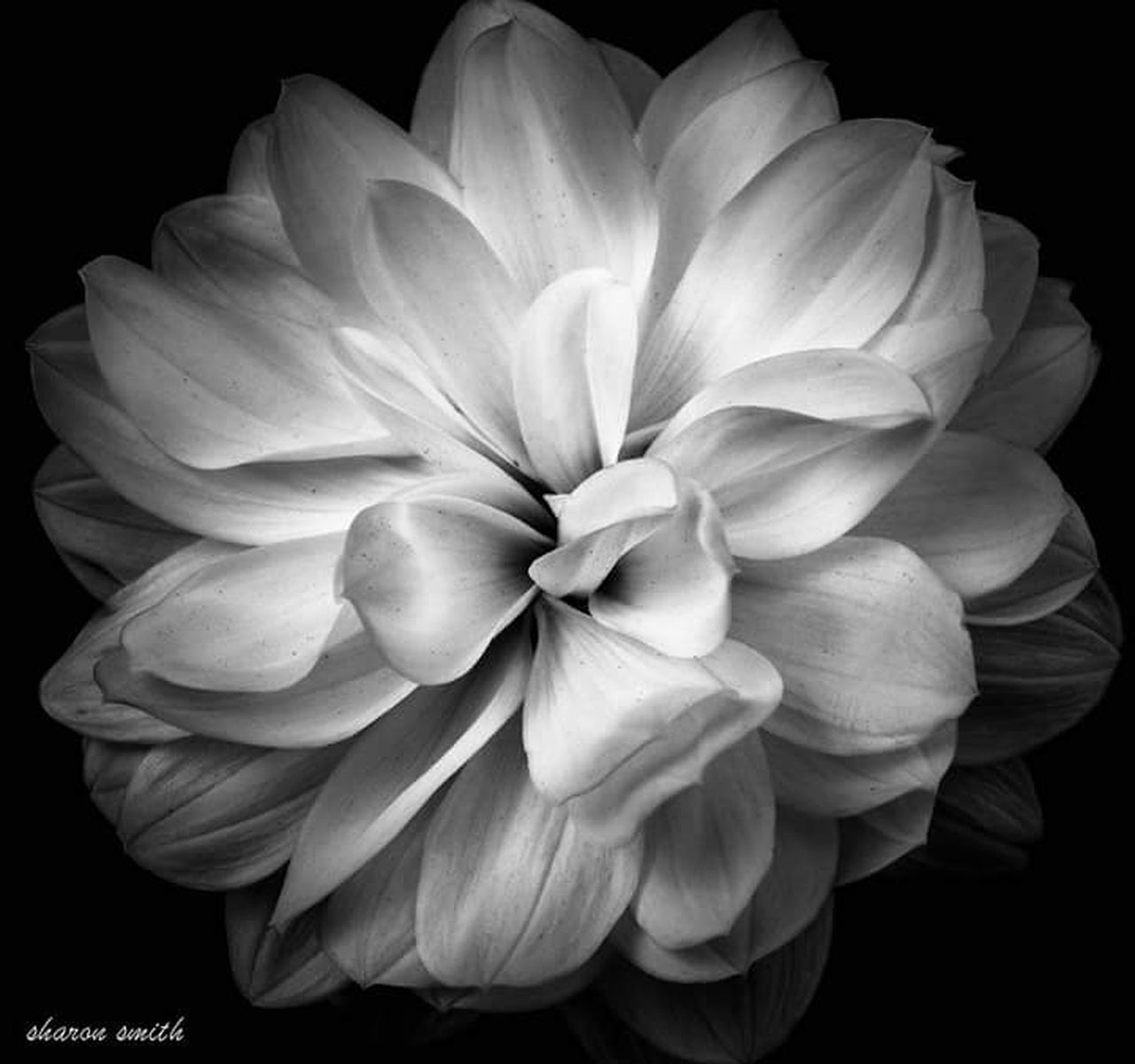 flower, petal, beauty in nature, nature, flower head, fragility, growth, plant, black background, no people, blooming, studio shot, close-up, freshness, outdoors, day