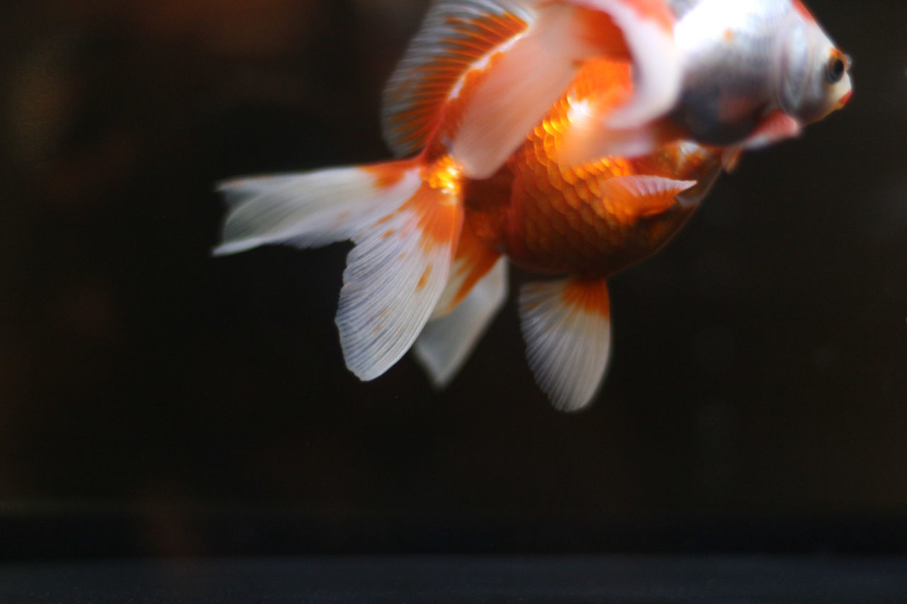 Sumida Aquarium 50mm Animal Animal Themes Animal Wildlife Close-up Color Day Fish Goldfish Indoors  Nature No People Underwater Water