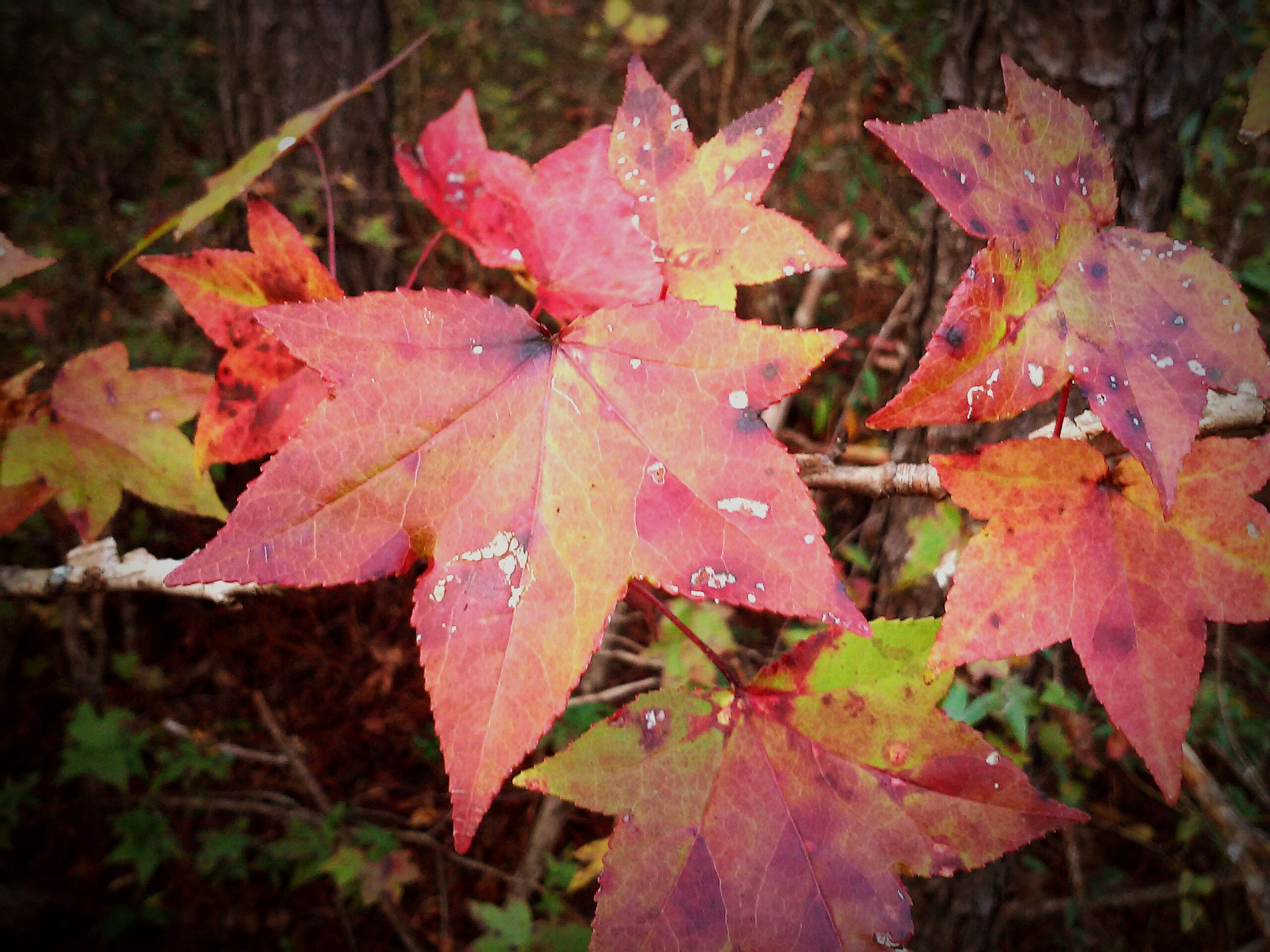 leaf, autumn, season, change, drop, wet, water, leaves, close-up, leaf vein, nature, beauty in nature, rain, maple leaf, red, fragility, weather, raindrop, focus on foreground, growth