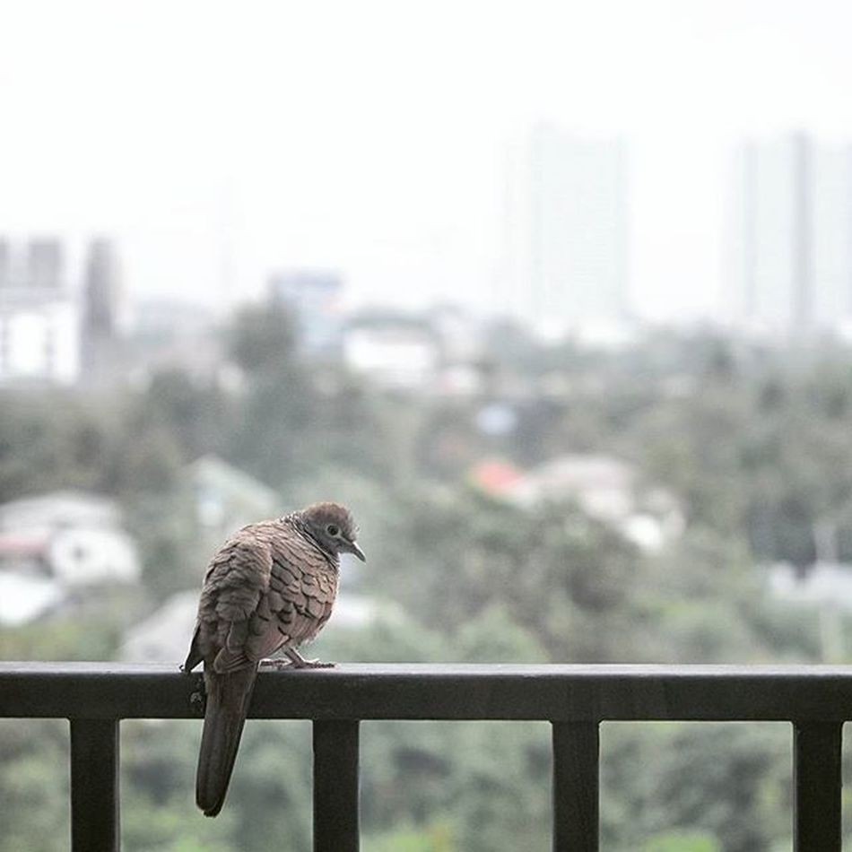 ชีวิตติดปีก Bird Dove Condo Tree Trees Smile Funny Bokeh Picture Photo CameraMan Photographer Fujifilm Fujixe1 Fujithailand Xe1 Lens Manuallens Cannon Vintagelens Canonfd50mm Canonfd50mmf1_4 50mm F1_4 50mmlens thailand bangkok city tower sky