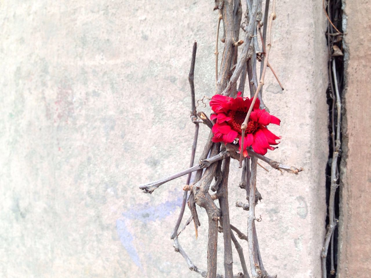 red, no people, flower, tied up, day, outdoors, close-up, nature