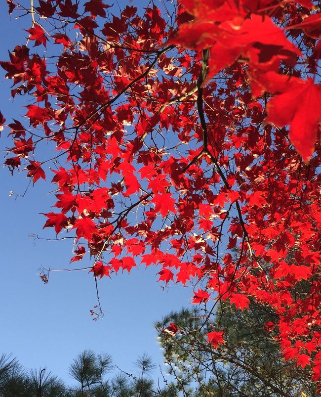 Red Leaves Fall Trees Nature
