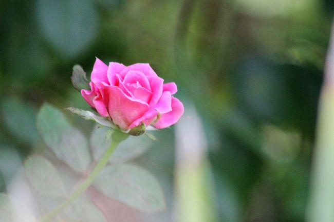 Beauty In Nature Blurredbackground Flower Focus On Foreground Fragility Freshness In Bloom Nature Onmystreet Outdoors Photography Pink Color Plant Popular Photos Rose - Flower Selective Focus Single Flower