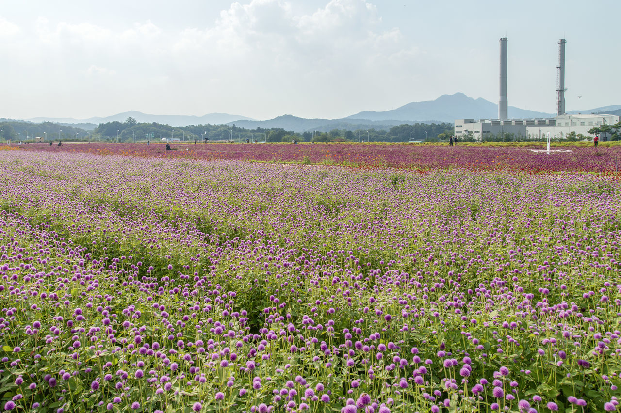 festival of globe amaranth flower with bellvedere at Nari Park in Yangju, Gyeonggido, South Korea Globe Amaranth Flower Agriculture Beauty In Nature Day Field Flower Globe Amaranth Growth Landscape Nature No People Outdoors Rural Scene Scenics Sky