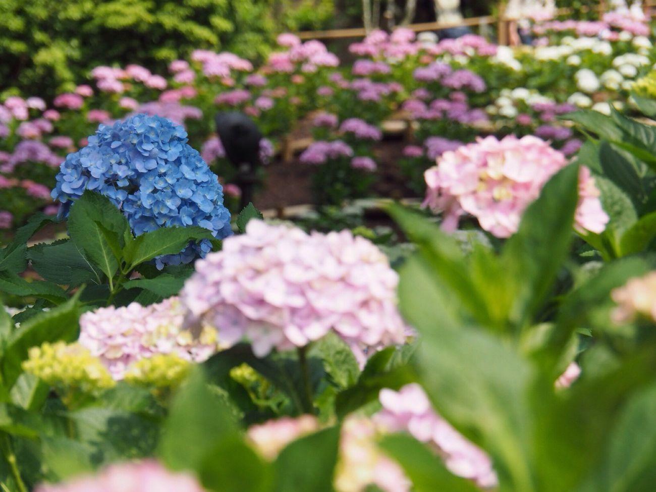 Kyoto Japan Uji Mimurotoji Temple Hydrangea Flower Plant Growth Beauty In Nature Nature Day Outdoors Blue Pink Olympus PEN-F 京都 日本 宇治 三室戸寺 紫陽花 10,000株の紫陽花