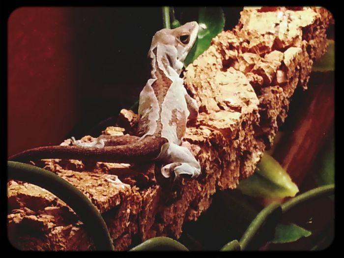 """Das ist ja zum """"Aus der Haut fahren"""". Ein Mädel aus unserer Rotkehlanolis Lennister Sippe häutet sich. Rotkehlanolis Lennister Reptiles Anolis"""