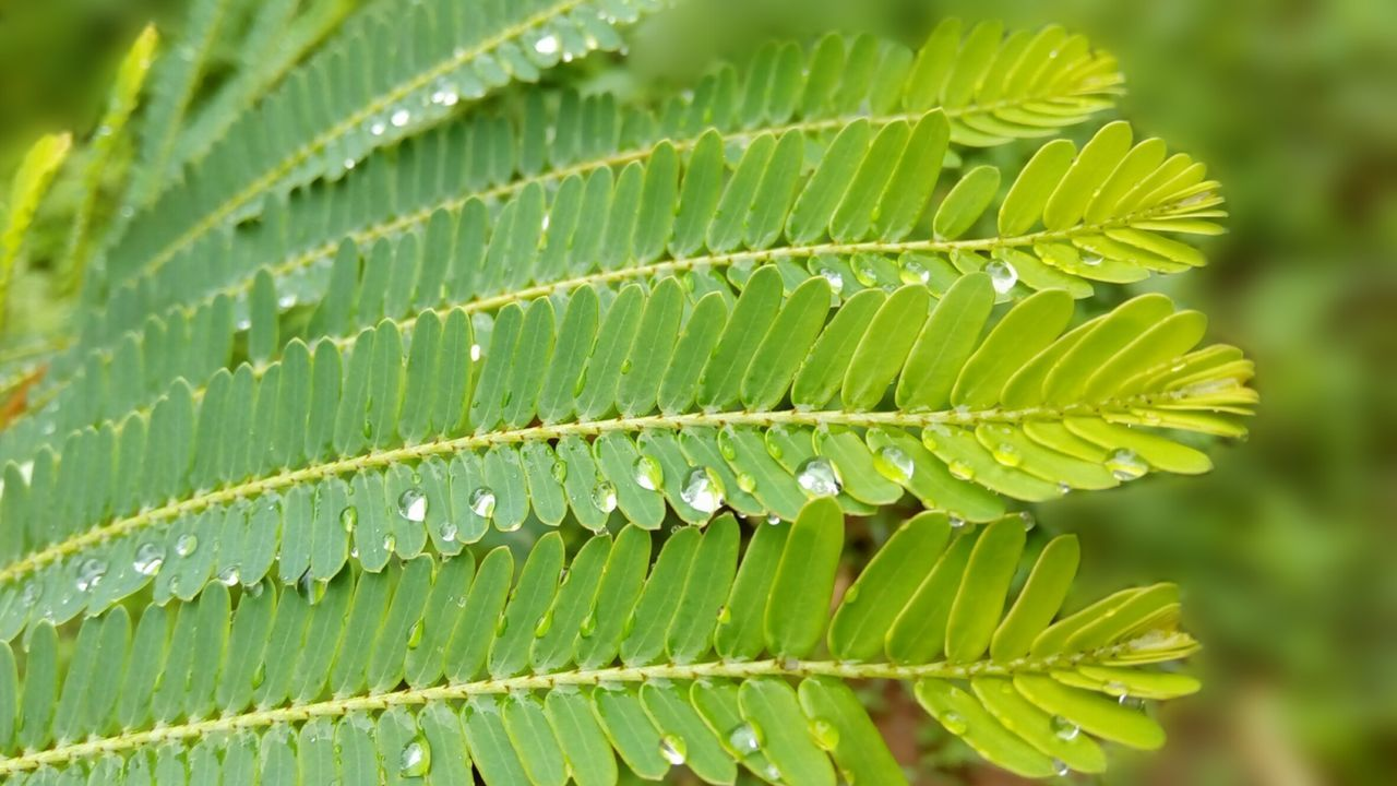 Green Color Growth Leaf Close-up Nature Plant Focus On Foreground Botany Fragility Leaves Day Beauty In Nature Outdoors Freshness Vibrant Color Full Frame Green Lush Foliage Purity Rain Drops Rain Drops On Leaves