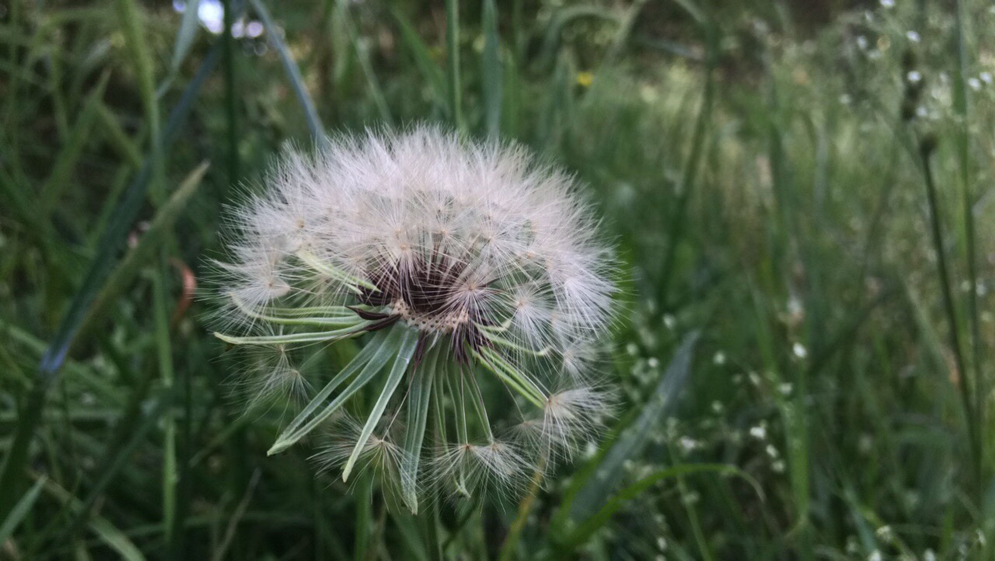 dandelion, flower, growth, nature, fragility, plant, softness, flower head, no people, freshness, close-up, outdoors, thistle, beauty in nature, day