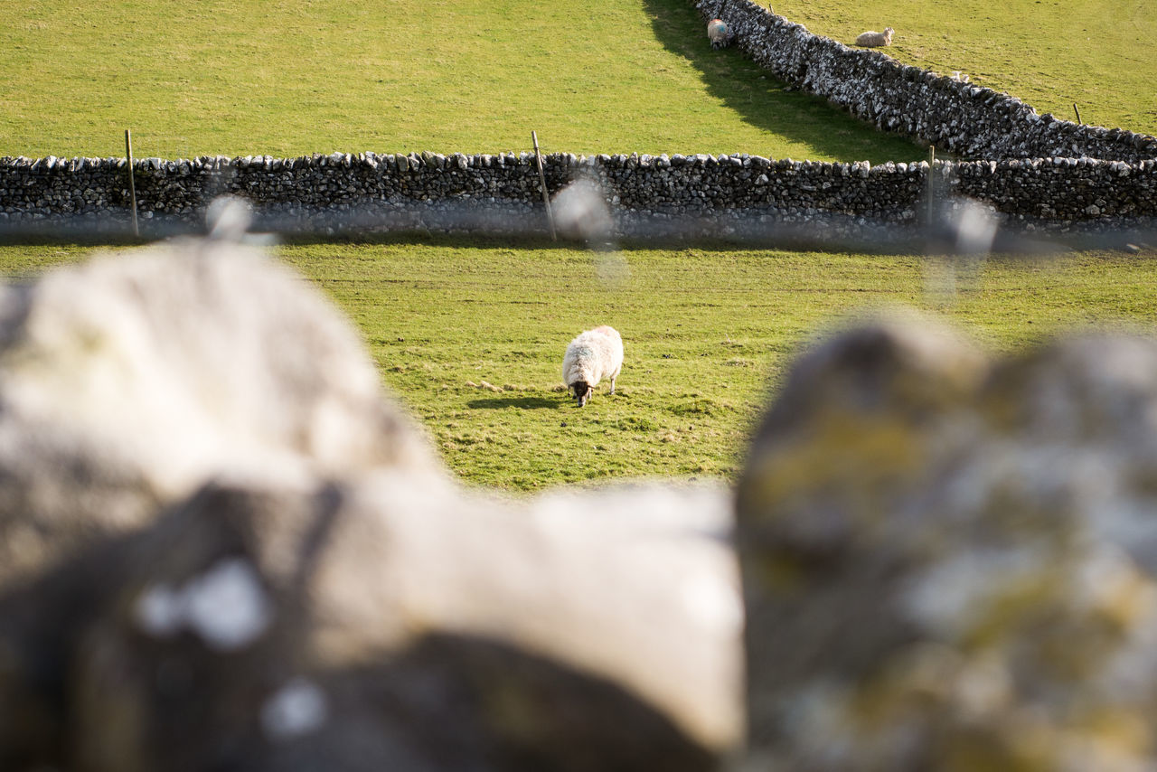 Country Life Country Living Countryside Dry Stone Wall English English Countryside Field Grass Graze Grazing Livestock Pasture Sheep Stone Sunlit Sunny Day Sunshine Wall Yorkshire Yorkshire Dales