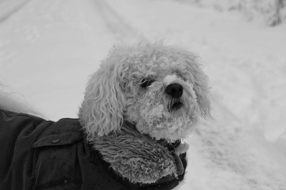 EyeEmNewHere Dog In Snow Dog Coat Blackandwhite