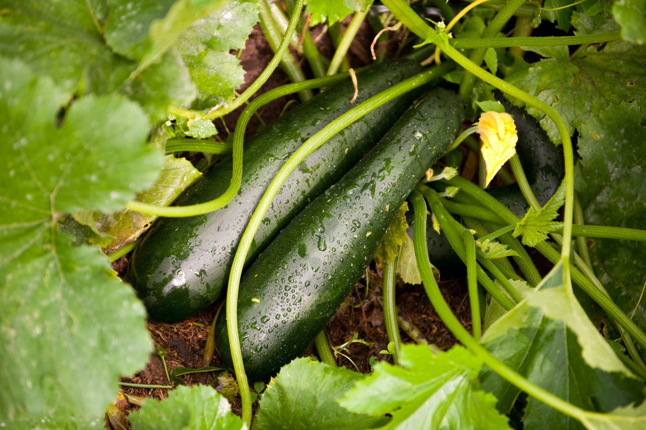 Zucchini or courgette plants grow, vegetables lying on ground, detail of fresh growing plant with stem and green leaves in Poland, rain drops on vegetables in rainy day, nobody, horizontal orientation. Agriculture Courgette Courgettes Cucurbita Cucurbita Pepo Cultivate Cultivated Food Fruit Fruits Giromontiina Ground Grow Growing Horticulture Nature No People Plant Plant Plants Ripe Vegetable Vegetables Zucchini