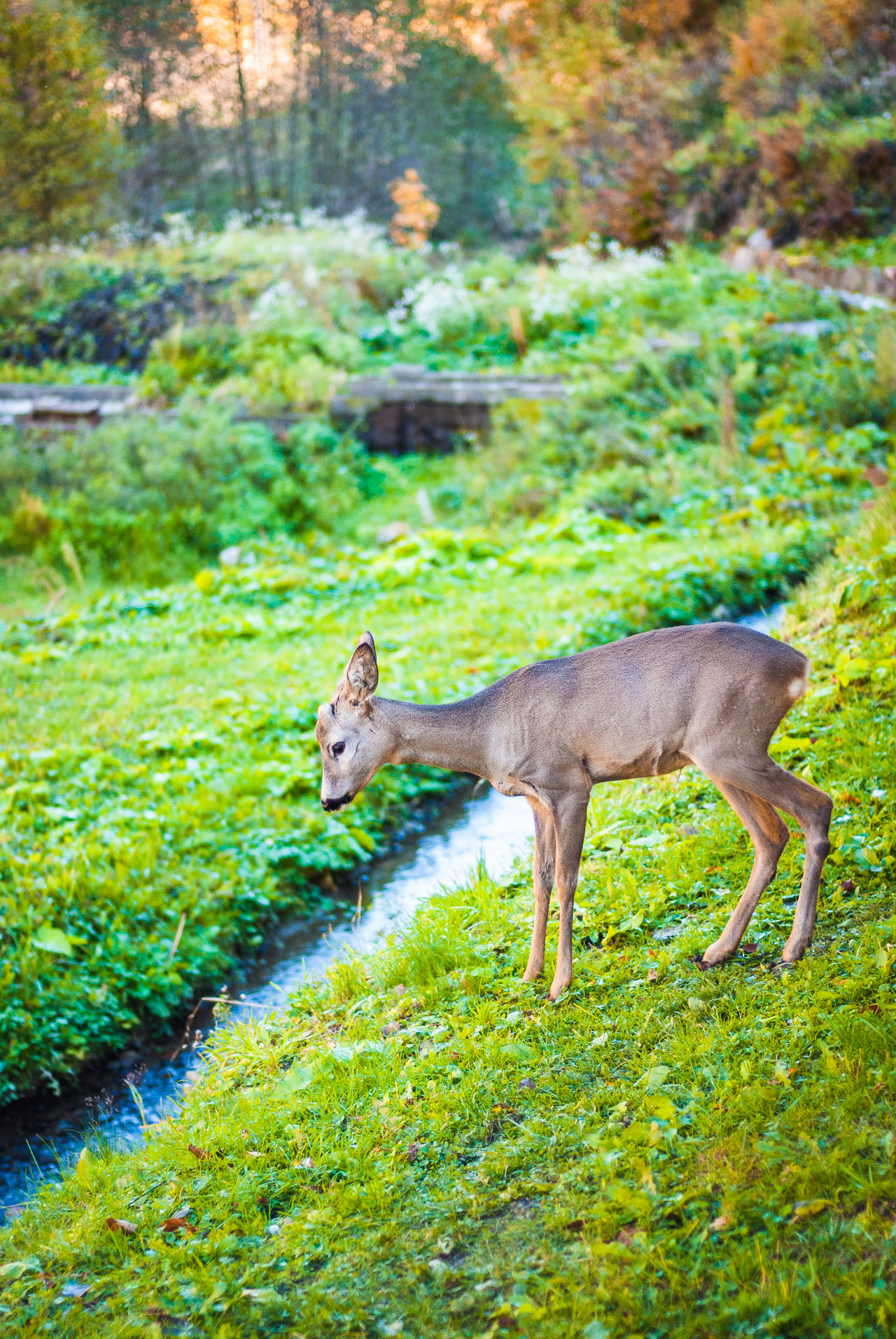 Roebuck on stream. Animal Themes Animal Wildlife Animals In The Wild Day Deer Forest Full Length Grass Green Color Mammal Nature No People One Animal Outdoors Roe Deer Roebuck Roé Stream