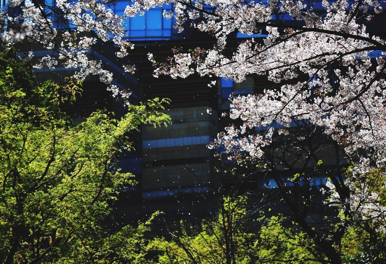 Flower storm. Taking Photos Beautiful Tokyo Japan Flowers Cherry Blossoms EyeEm Nature Lover Architecture Colors Light And Shadow 六本木ヒルズ 桜
