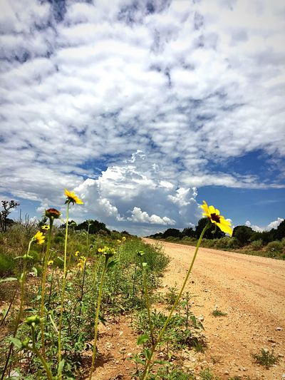 """""""Sunflower Hitchhikers"""" Sunflowers worshipping the warm rays of sun along a dirt county road in the Central Highlands of New Mexico, USA. Sunflower Sunflowers Sunflowers🌻 Wildflowers Countyside Country Country Road Rural Rural Scene Rural Scenes Rural America Rural Landscape Rural Exploration Newmexicoskies Newmexico Newmexicophotography New Mexico Dirt Road"""