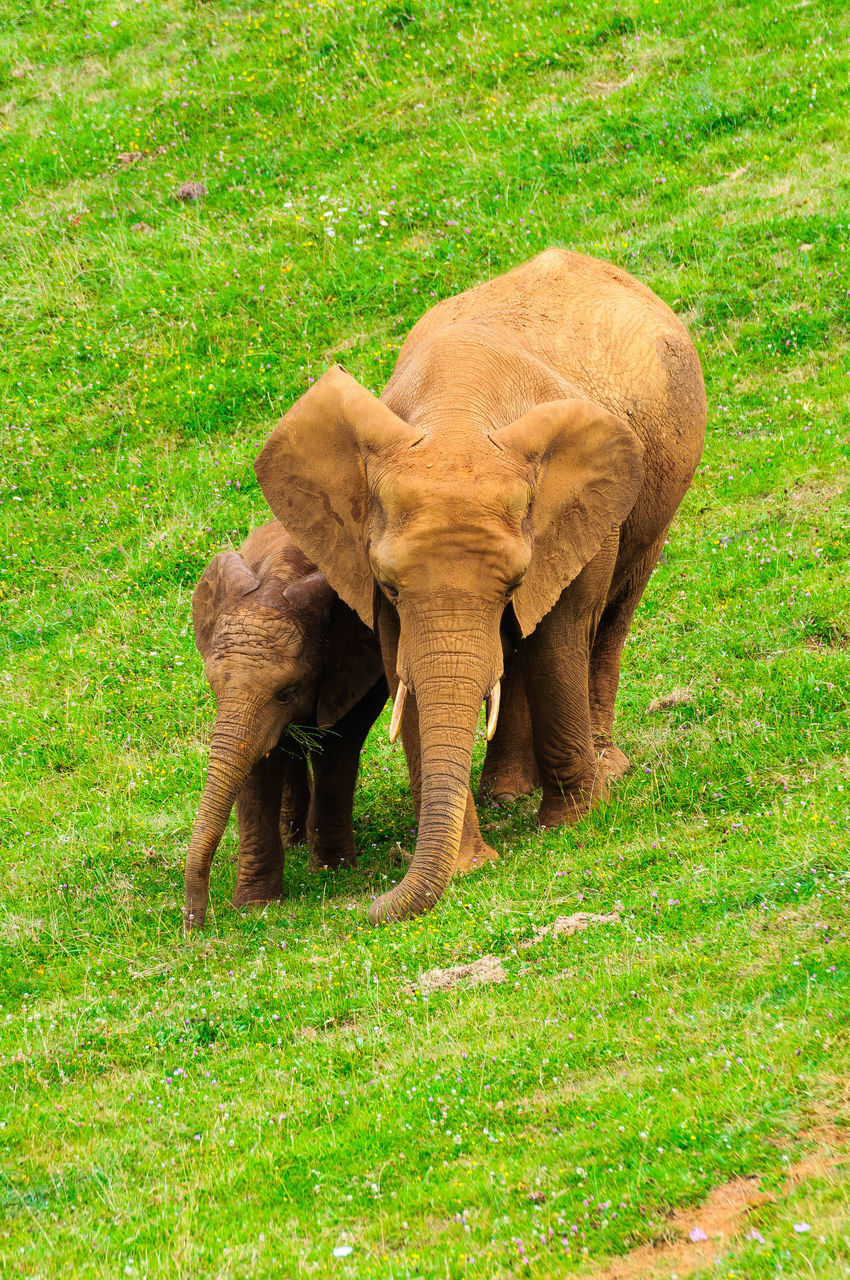 grass, animal themes, one animal, field, mammal, green color, animals in the wild, standing, elephant, animal wildlife, nature, outdoors, no people, grazing, day, full length, animal trunk, african elephant