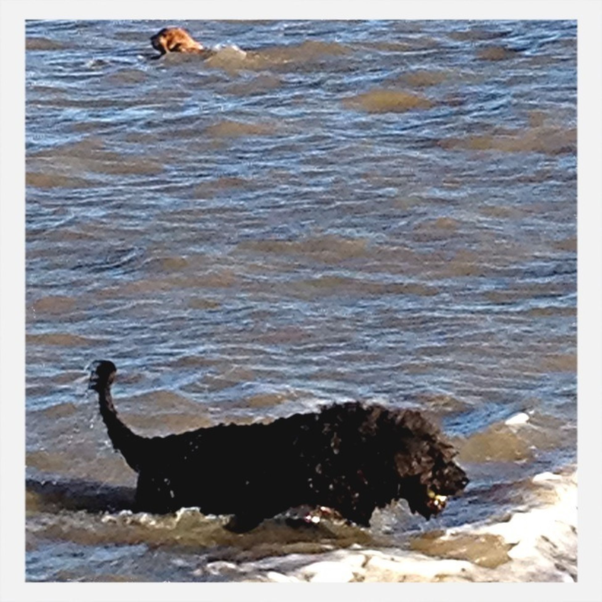 animal themes, water, transfer print, one animal, animals in the wild, sea, auto post production filter, wildlife, mammal, dog, nature, waterfront, domestic animals, beach, bird, high angle view, rippled, swimming, pets, day