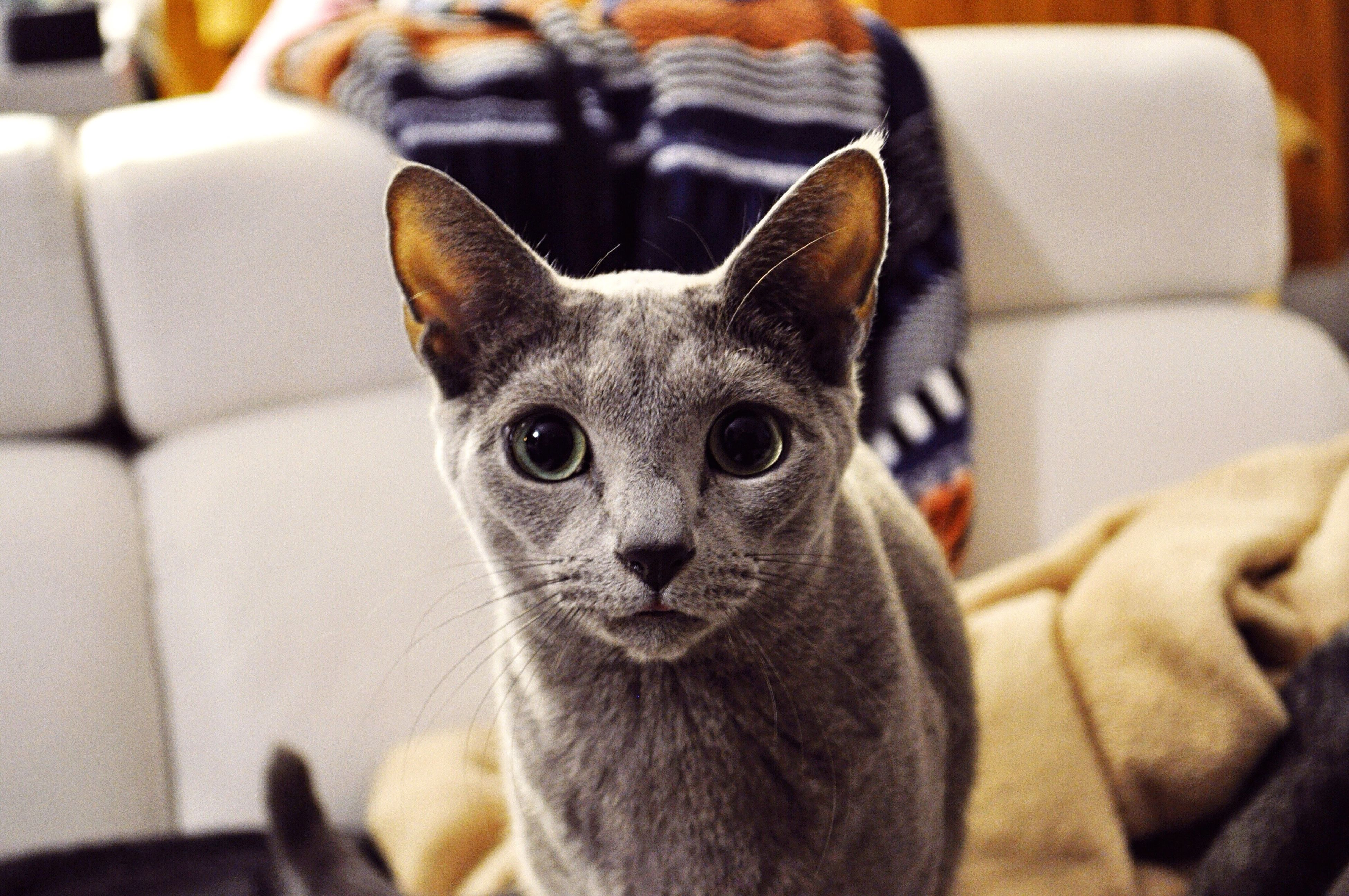 Russian Cat Citizen Eyes His name is Teo (Teodor)