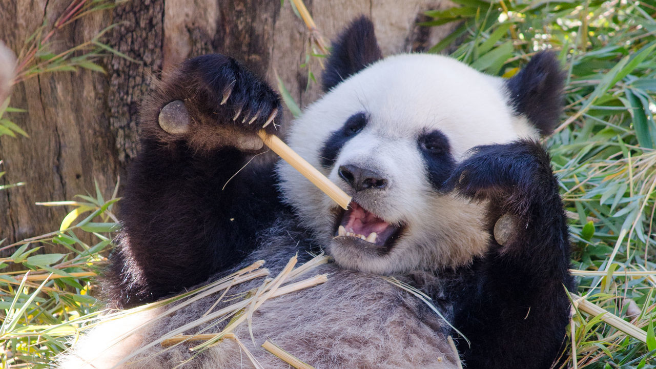 Beautiful stock photos of bear, Animal Themes, Animals In Captivity, Animals In The Wild, Bamboo Shoot