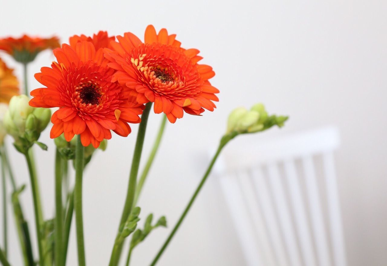 Flower Fragility Beauty In Nature Petal Flower Head Nature Freshness Growth Red Blooming Plant Orange Color Pollen Close-up No People Zinnia  Gerbera Daisy Day Outdoors Dahlia Copy Space