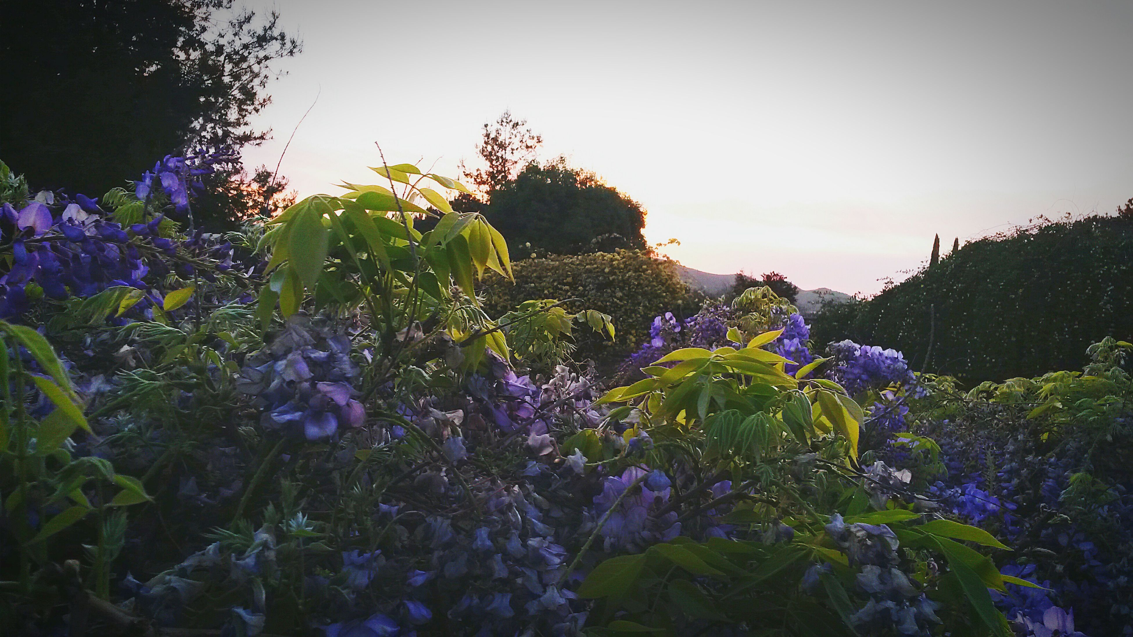 flower, growth, beauty in nature, freshness, plant, purple, fragility, nature, blooming, petal, clear sky, sky, blue, field, in bloom, tranquility, tree, tranquil scene, flower head, outdoors