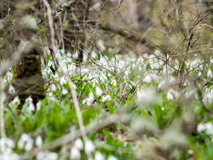Ayu-Dag Ayudag Crimea,Russia Day Forest Galanthus Galanthus Nivalis Gawlet Green Color Growth Nature No People Outdoors Red Book Snowdrop Snowdrop Flower White Color White Flower White Green