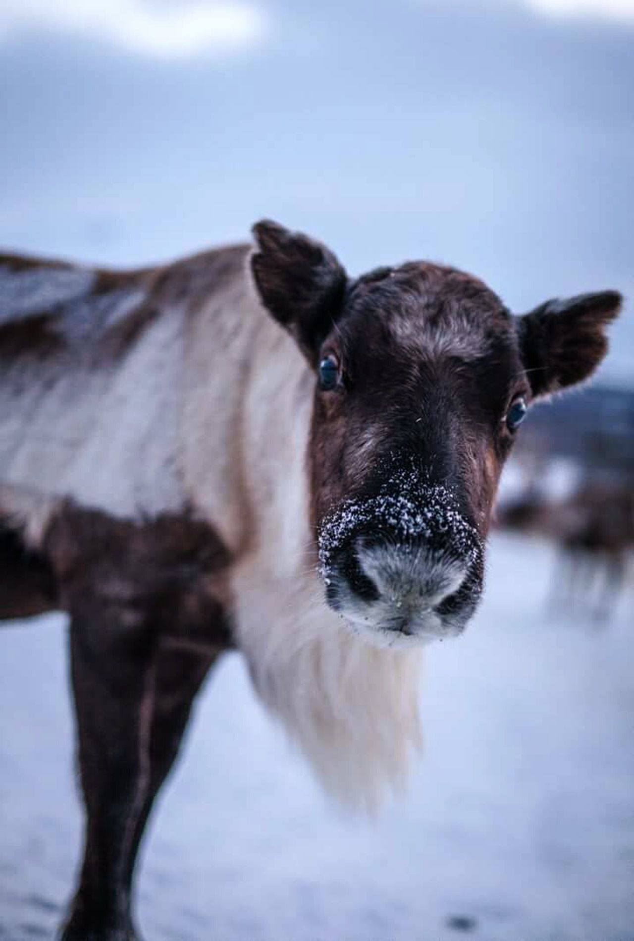 My Winter Favorites Check This Out Reindeer North Arctic Rudolf Xmas Time Wintertime Snow Tromsø Norway Hello World Peaceful Cute