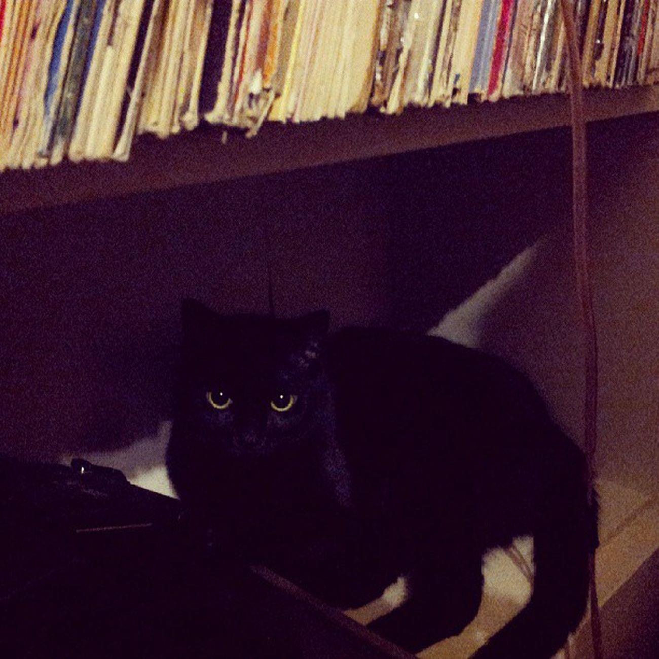 Music city kitty Adorbs Shadowkitten