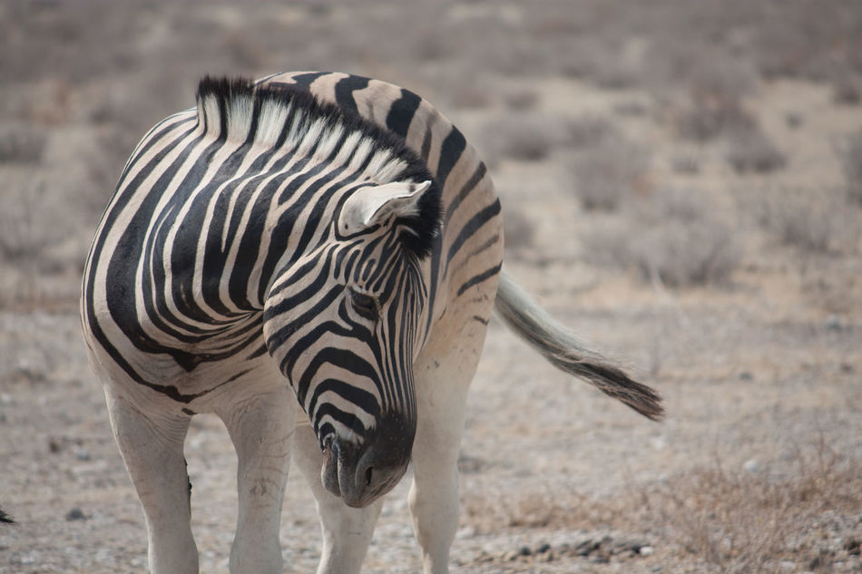 Beautiful stock photos of zebra, Animal Themes, Animals In The Wild, Close-Up, Day