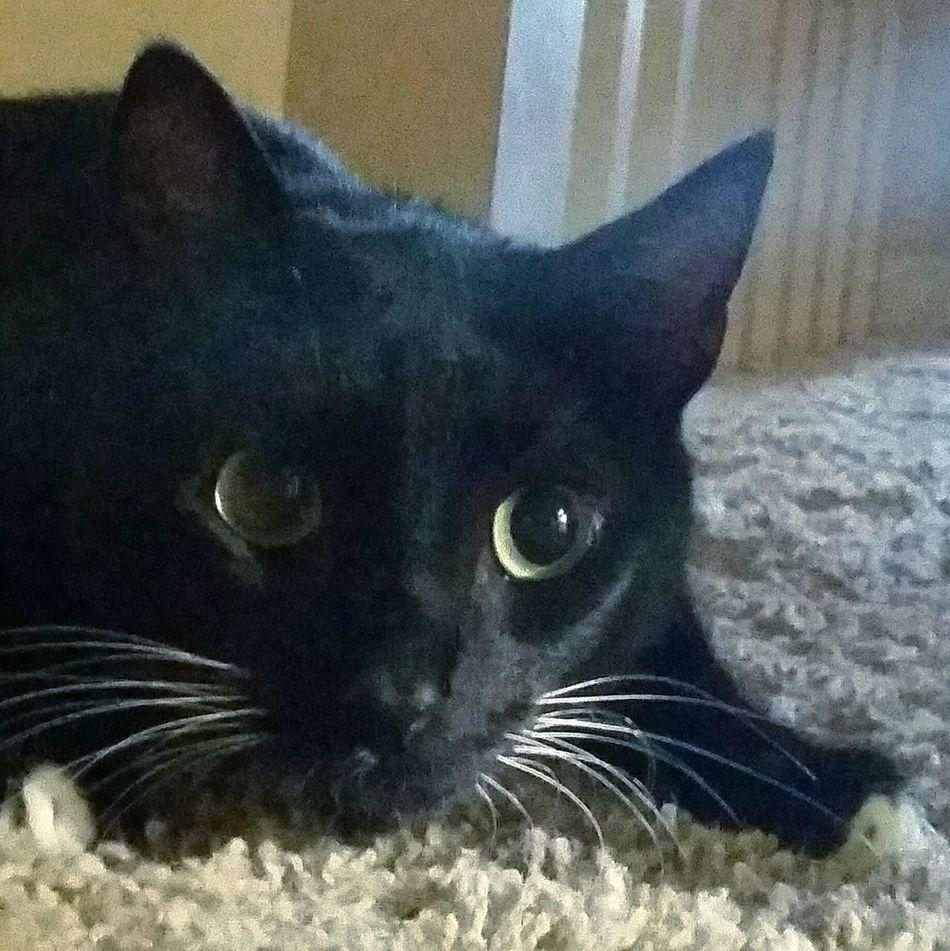 my cat, Hook Excitement Cat Black And White Cat Catnip Catnipaddict