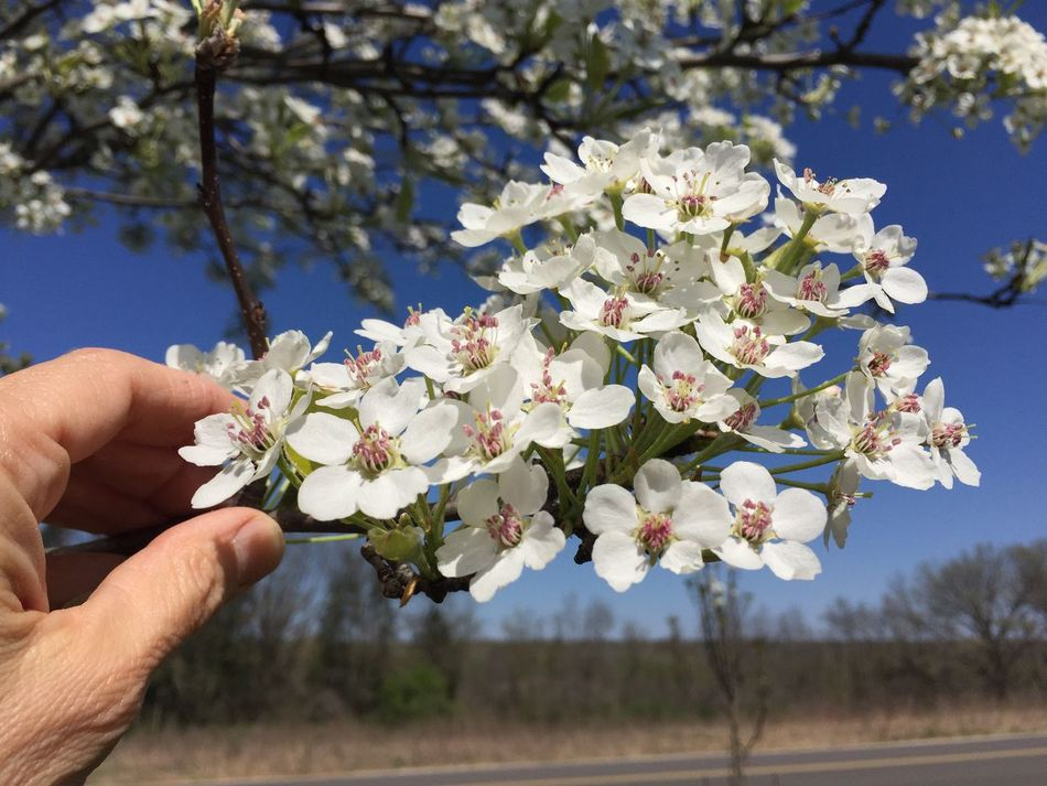 Flower Human Hand Fragility Springtime Beauty In Nature Petal Branch White Color Apple Blossom Flower Head Tree Blossom Growth Botany Spring Arboretum